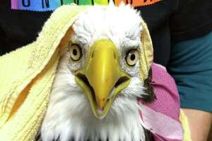 An eagle found on the side of Route 8 after being hit by a car Oct. 16, 2019, has died.