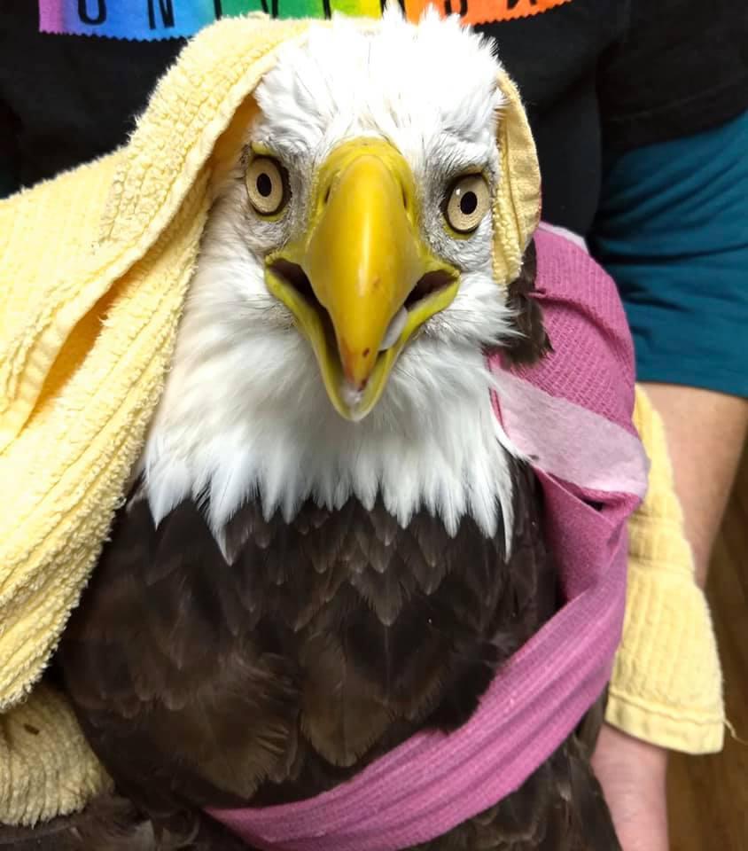 Eagle hit by car dies