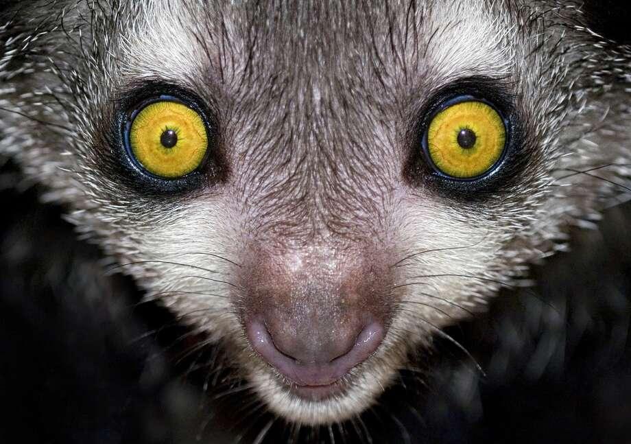 Aye-aye (Daubentonia madagascariensis). Nocturnal lemur found only in Madagascar. Photo: Mark Carwardine/Getty Images