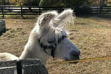 Barack O'Llama, the newest resident of One Hump Farm.
