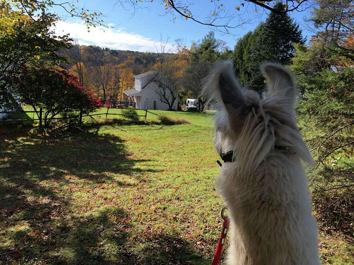 Barack O'Llama, a rescue of One Hump Farm, overlooks his new home.