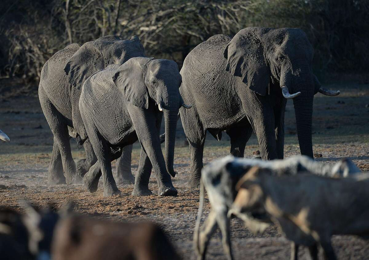 Elephants arrive to drink water in one of the dried channel of the wildlife reach Okavango Delta near the Nxaraga village in the outskirt of Maun, on 28 September 2019.