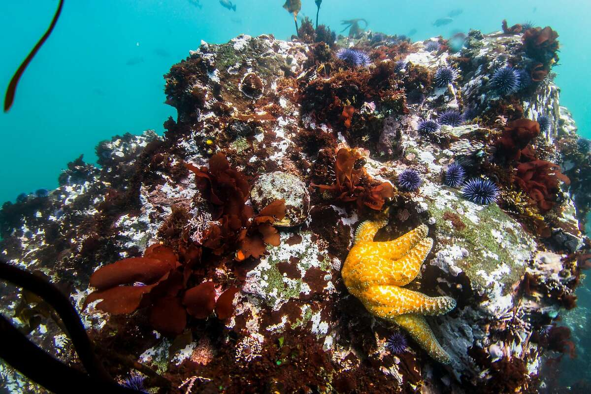 An abalone clings to a rock surrounded by purple sea urchins off the north coast of California near Fort Bragg on Sunday, May 12, 2019.