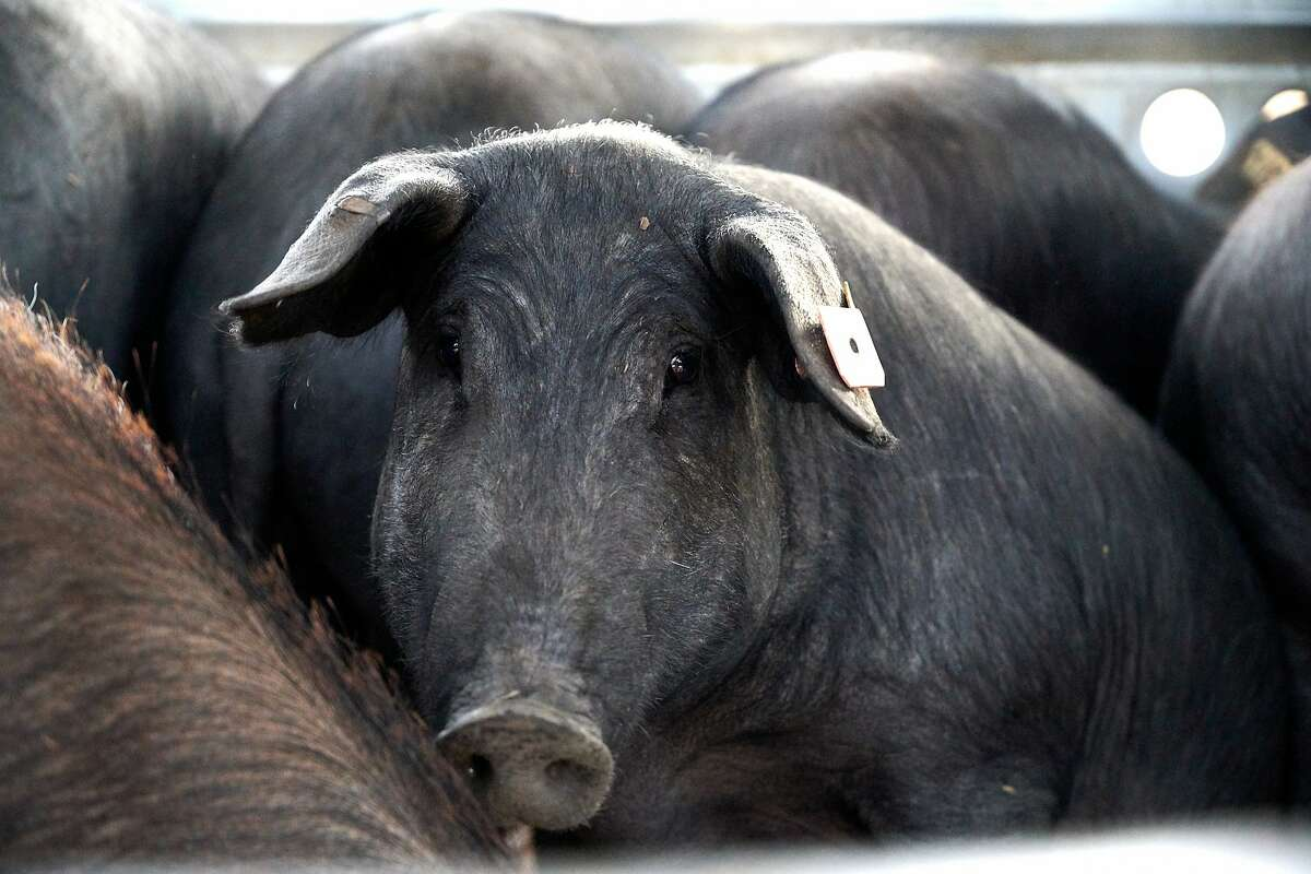 An Encina Farms' Iberico Pig is seen on Friday, Sept. 20, 2019 in Middletown, Calif.