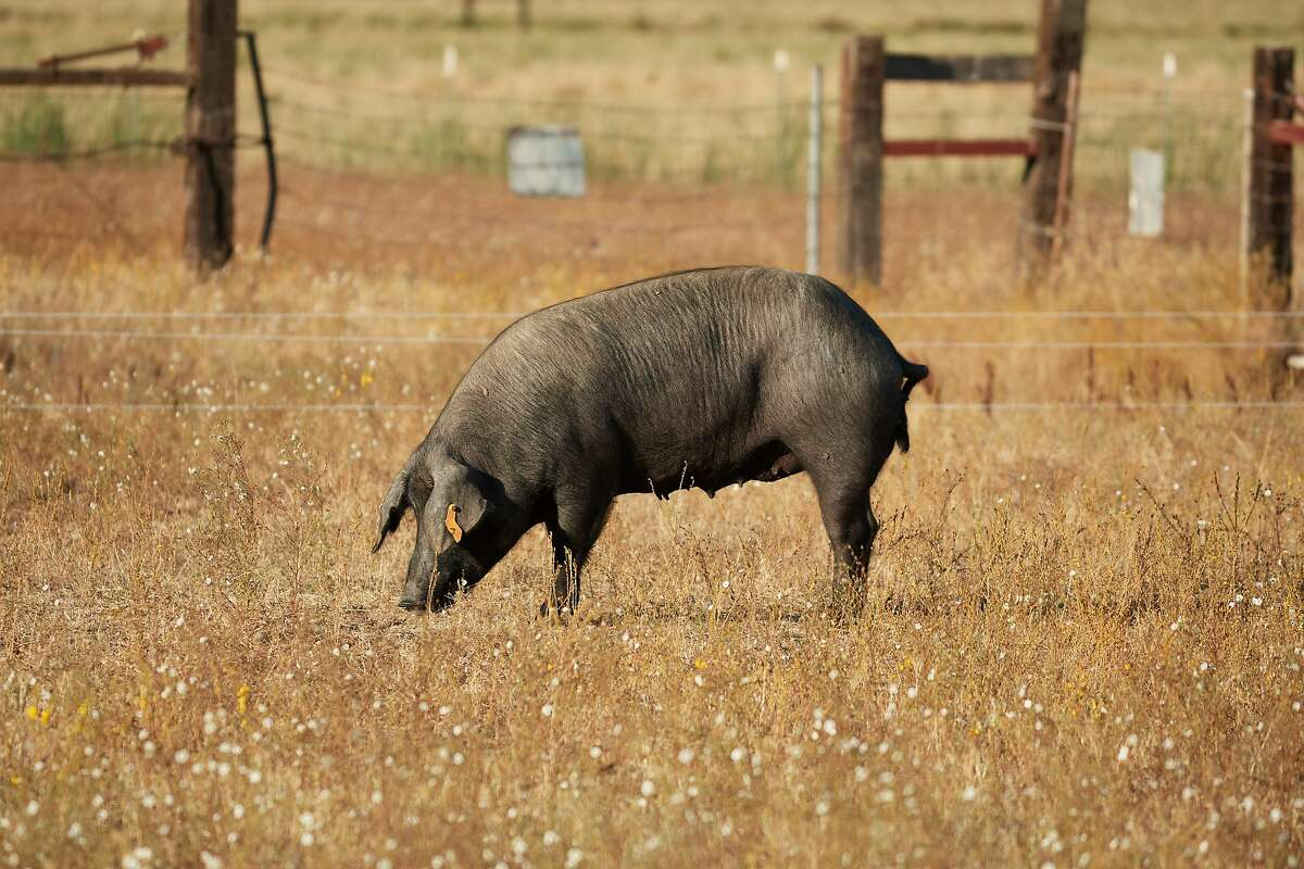 Encina Farms' Iberico Pigs are seen on Friday, Sept. 20, 2019 in Middletown, Calif.