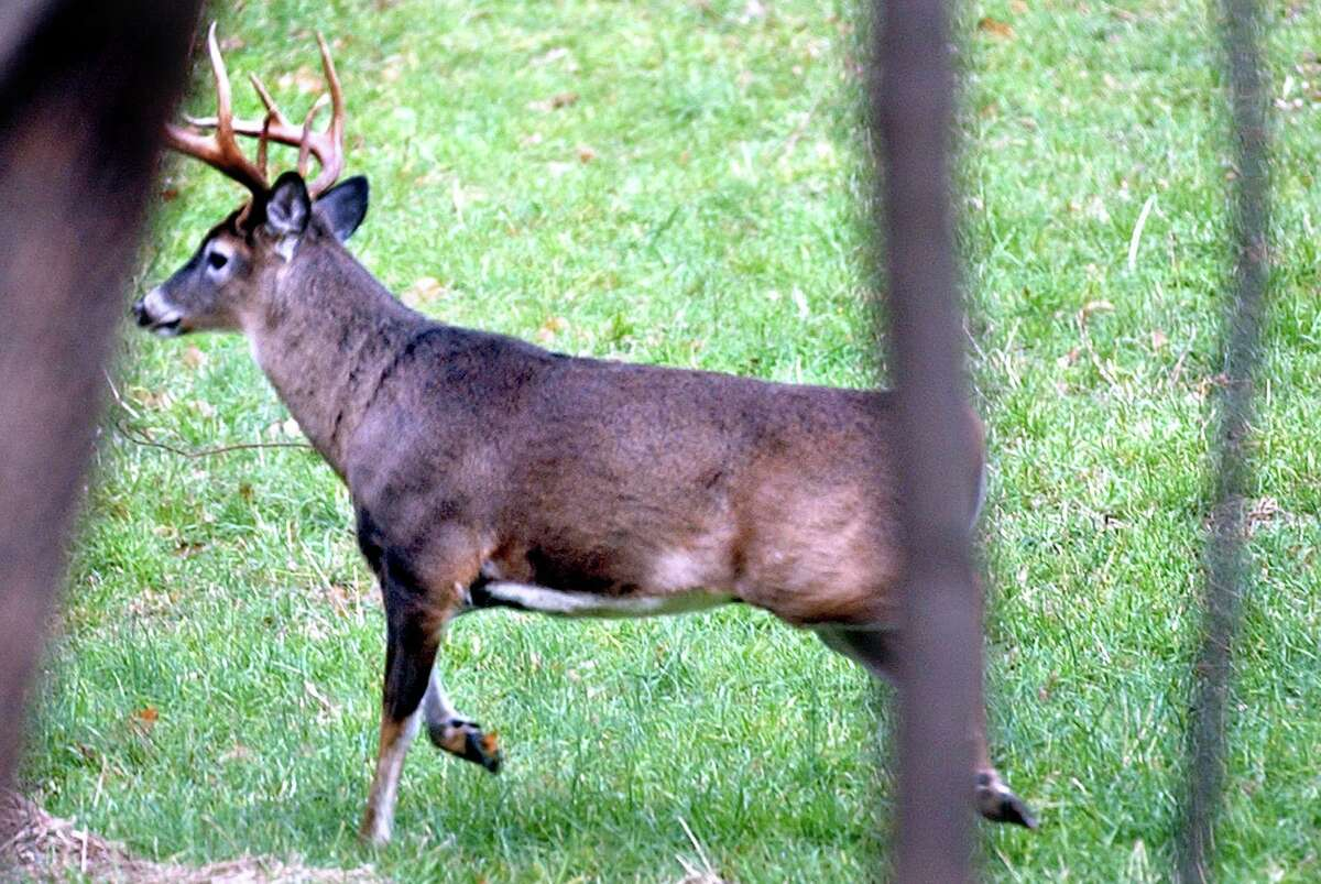 File photo of a deer. Monroe's animal control officer has issued a warning about avoiding deer on the roads, roughly a week after there were some incidents in town involving the woodland creature. Photo - Tom Rettig (11/20/04)