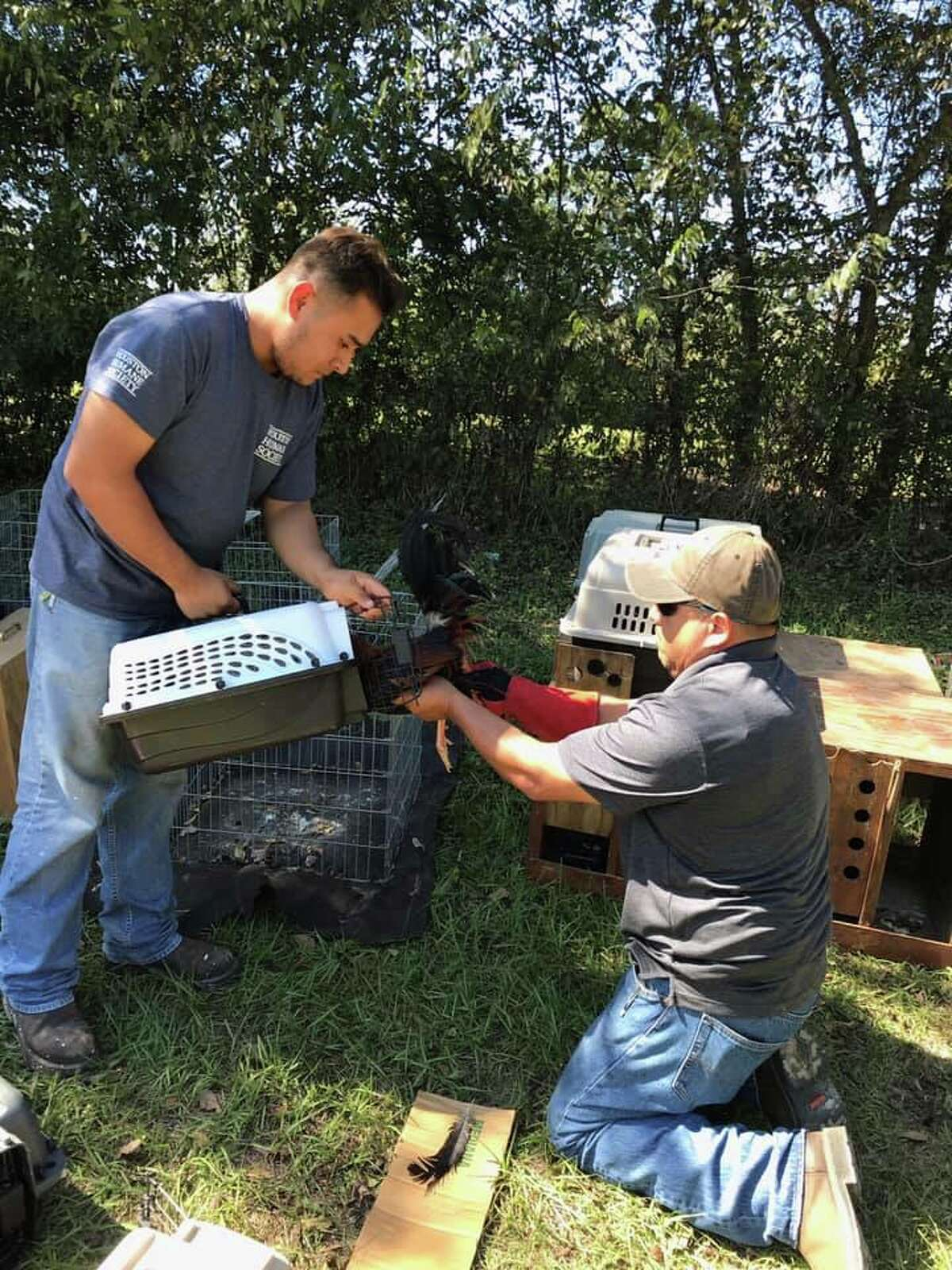 """A total of 114 roosters rescued from a property in Grimes County Monday were living in """"mental and physical torture"""" and are believed to have been used for cockfighting."""