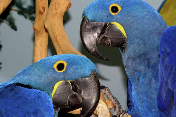 At Birdie Bash 2019 in Middletown, bird lovers can shop, mingle, learn from experts and meet falcons and exotic birds like these hyacinth macaws.
