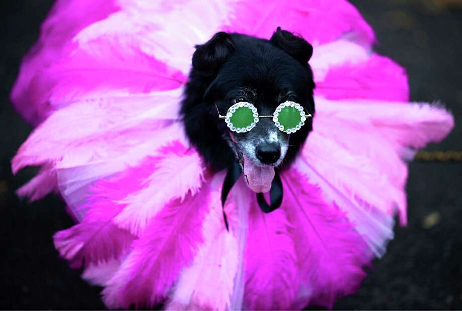 Dog like this one dressed in a Rihanna costume will parade at the Pearl on Saturday. Photo: Johannes Eisel /Getty Images / AFP or licensors