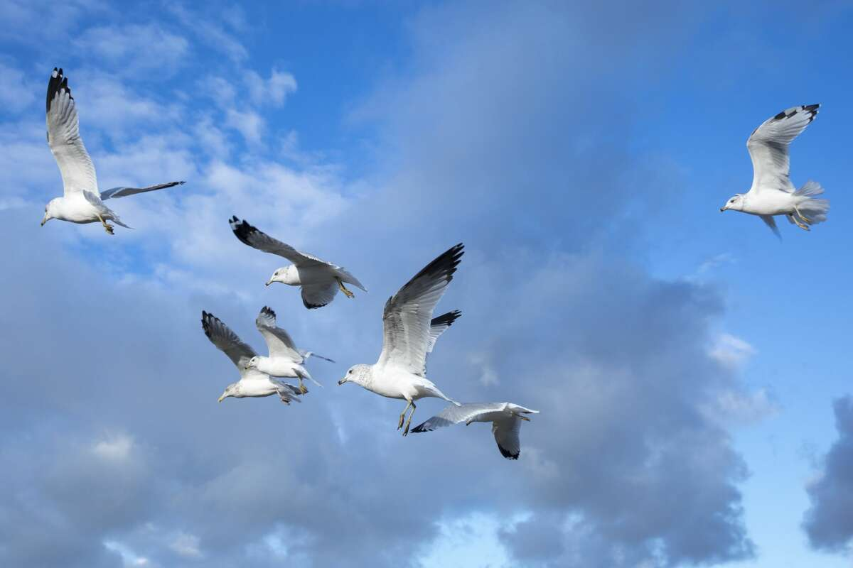 An ecologist is studying how seagulls' unnatural fast food diet is affecting the chemical makeup of their Channel Islands home.