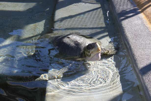 Donatello, a rescued olive ridley sea turtle, swims around at the Marine Mammal Center in Sausalito. She was reportedly in critical condition after being discovered on a Humboldt County beach hundreds of miles from her home.
