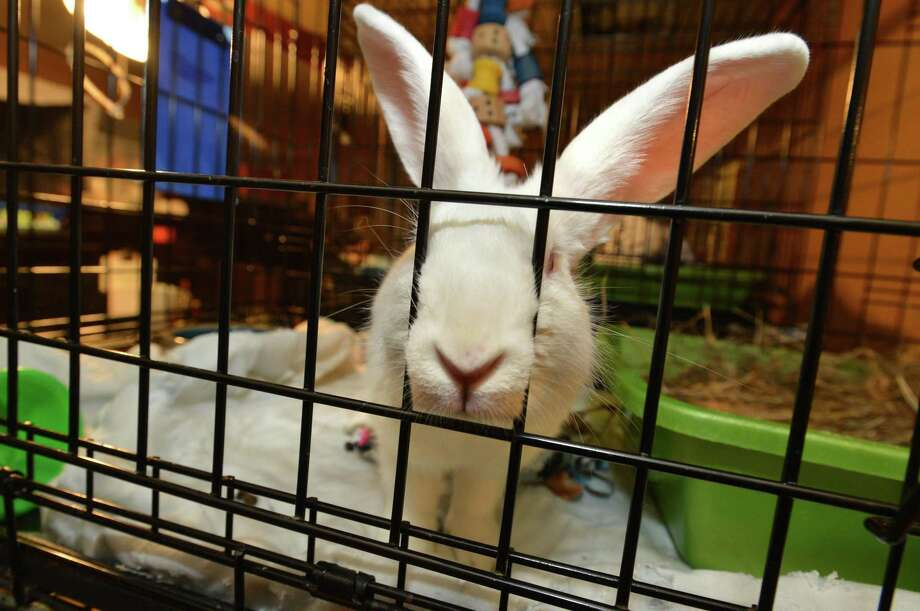A curious rabbit pokes his nose through the cage while waiting for adoption at Hop-A-Long Hollow, a rabbit rescue founded by Linda Thibault to help place abandoned rabbits now in her care into new homes on Thursday April 6, 2017 in Norwalk Conn. Photo: Alex Von Kleydorff / Hearst Connecticut Media / Norwalk Hour