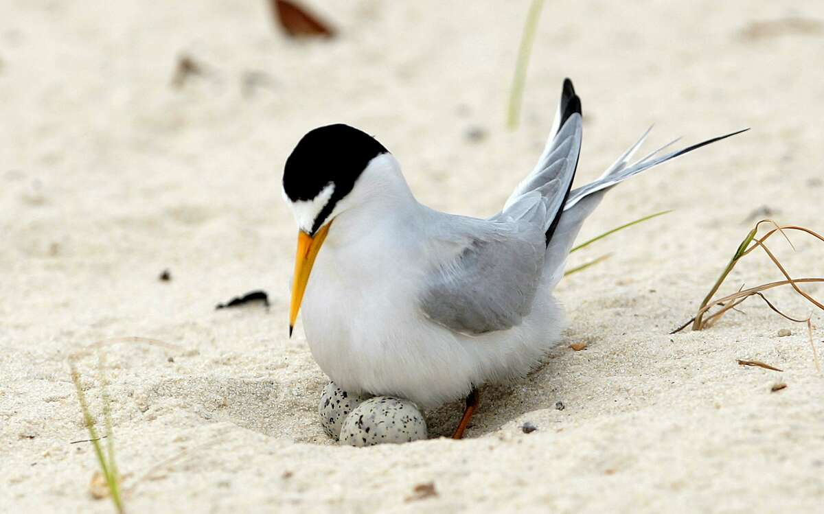 FILE - In this Saturday, May 1, 2010 file photo, a least tern checks her two eggs on the beach in Gulfport, Miss. Once hurt the by the damning of major rivers like the Missouri and before that diminished by hunting for feathers for hats, the interior tern population has increased tenfold in population since 1985 to more than 18,000. On Wednesday, Oct. 23, 2019, the U.S. Fish and Wildlife Service will propose taking the interior population of the least tern off the endangered list. (AP Photo/Dave Martin)