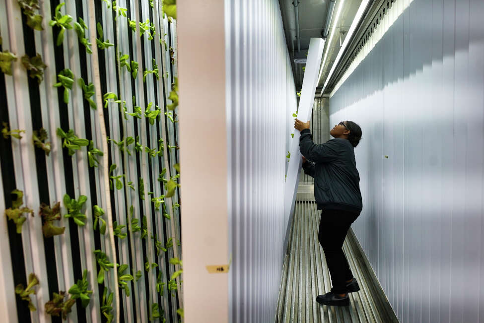 Kelyse Bell, 13, hangs a column of lettuce inside the freight farm at the Boys & Girls Clubs of the Capital Region on Monday, October 7, 2019, in Troy, N.Y. (Paul Buckowski/Times Union)