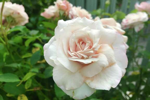 """The creamy, full blossoms of """"Belinda's Blush,"""" one of three roses from the Antique Rose Emporium to win American Garden Rose Selections honors for 2020, is a prolific bloomer on nearly thornless canes."""