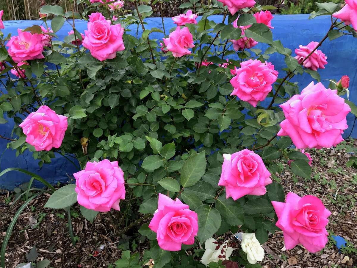 """""""Naga Belle"""" is one of three roses introduced by the Antique Rose Emporium that have won American Garden Rose Selections honors for 2020."""