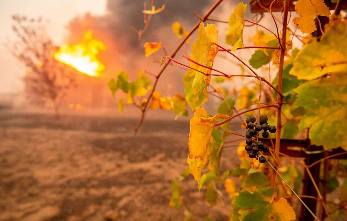 Partially charred grapes hang at a vineyard as a building burns during the Kincade fire near Geyserville, California on October 24, 2019. - fast-moving wildfire roared through California wine country early Thursday, as authorities warned of the imminent danger of more fires across much of the Golden State. The Kincade fire in Sonoma County kicked up Wednesday night, quickly growing from a blaze of a few hundred acres into an uncontained 10,000-acre (4,000-hectare) inferno, California fire and law enforcement officials said.