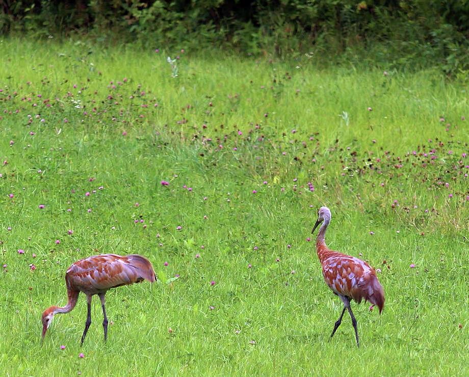 Sandhill Cranes. Photo: Photo By Tom Peterson For The Washington Post. / For The Washington Post