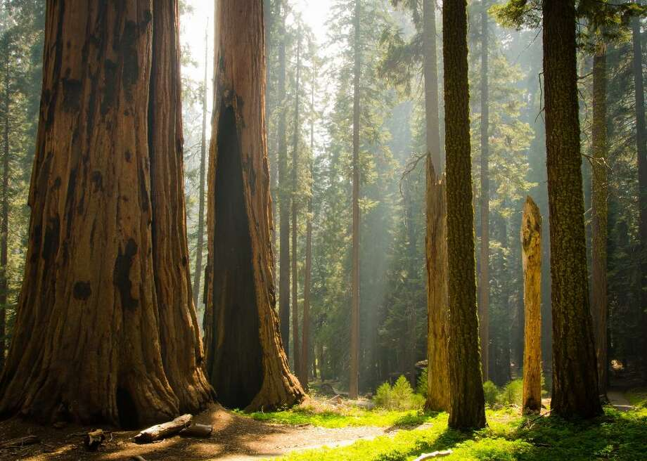 Some of the largest trees in the world, ancient towering sequoias, can be found in Sequoia and Kings Canyon national parks. The parks are removing all references to Gen. Robert E. Lee from park signage and media. Two trees in the parks were named after the Confederate leader at the end of the 19th and beginning of the 20th centuries. Photo: Hans Debruyne // Shutterstock