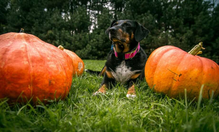 Dr. Christine Rutter, a clinical assistant professor at the Texas A& College of Veterinary Medicine & Biomedical Sciences, points out the dangers of pet poisoning on Halloween and how to react if intoxication does occur. Photo: Texas A&M University