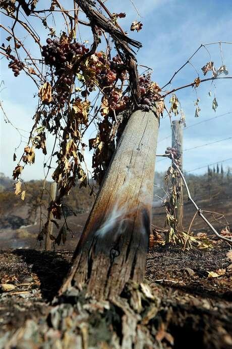 Charred grapevines on Julia Jackson's property. Photo: Scott Strazzante / The Chronicle