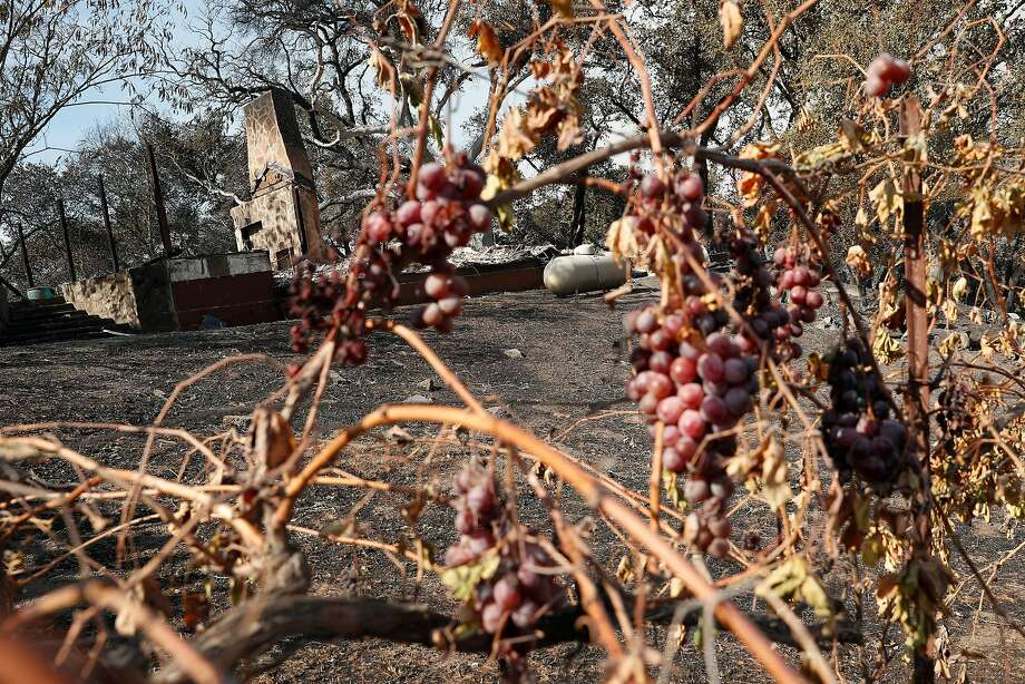 Charred grapevines near the house of Julia Jackson of the Kendall-Jackson wine family during Kincade Fire in Geyserville, Calif., on Thursday, October 24, 2019. Photo: Scott Strazzante / The Chronicle