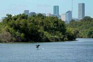 A pelican flies along Buffalo Bayou east of downtown.