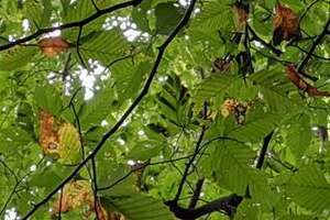 The symptoms on beech foliage, best observed from below looking up into the canopy, are characterized by dark striping between leaf veins.