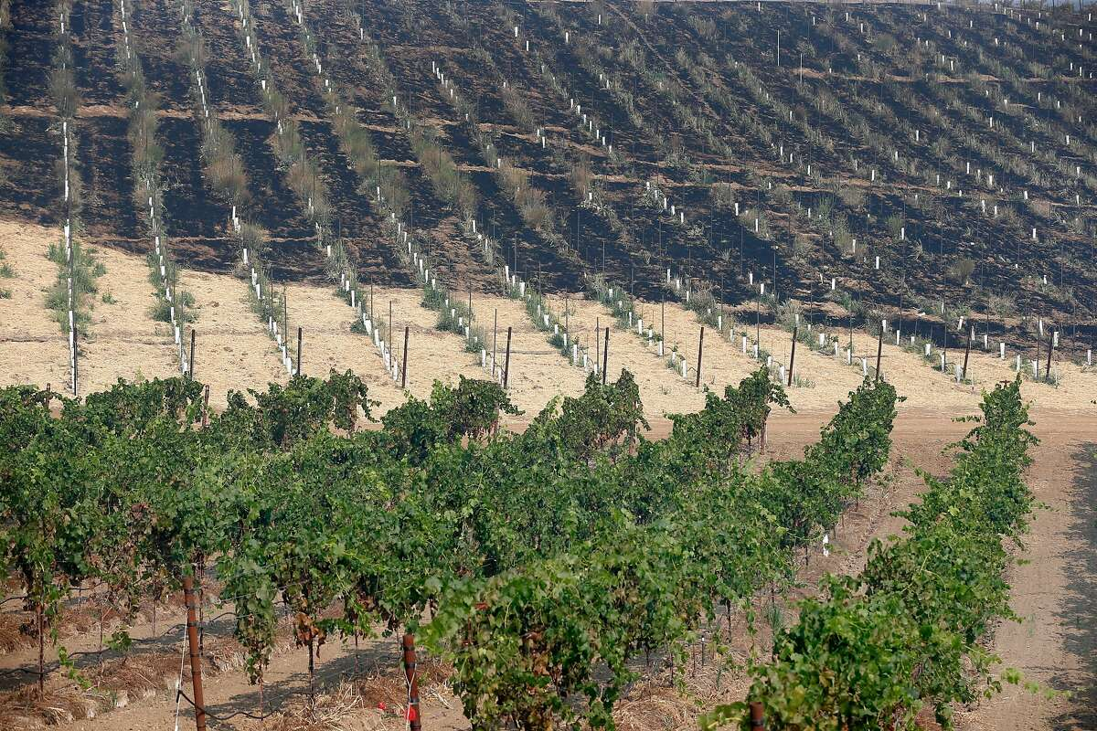A vineyard at the Wasson Family Farms on Highway 128 is partically scorched as the Kincade Fire continues to grow near Geyserville, Calif. on Friday, Oct. 25, 2019.