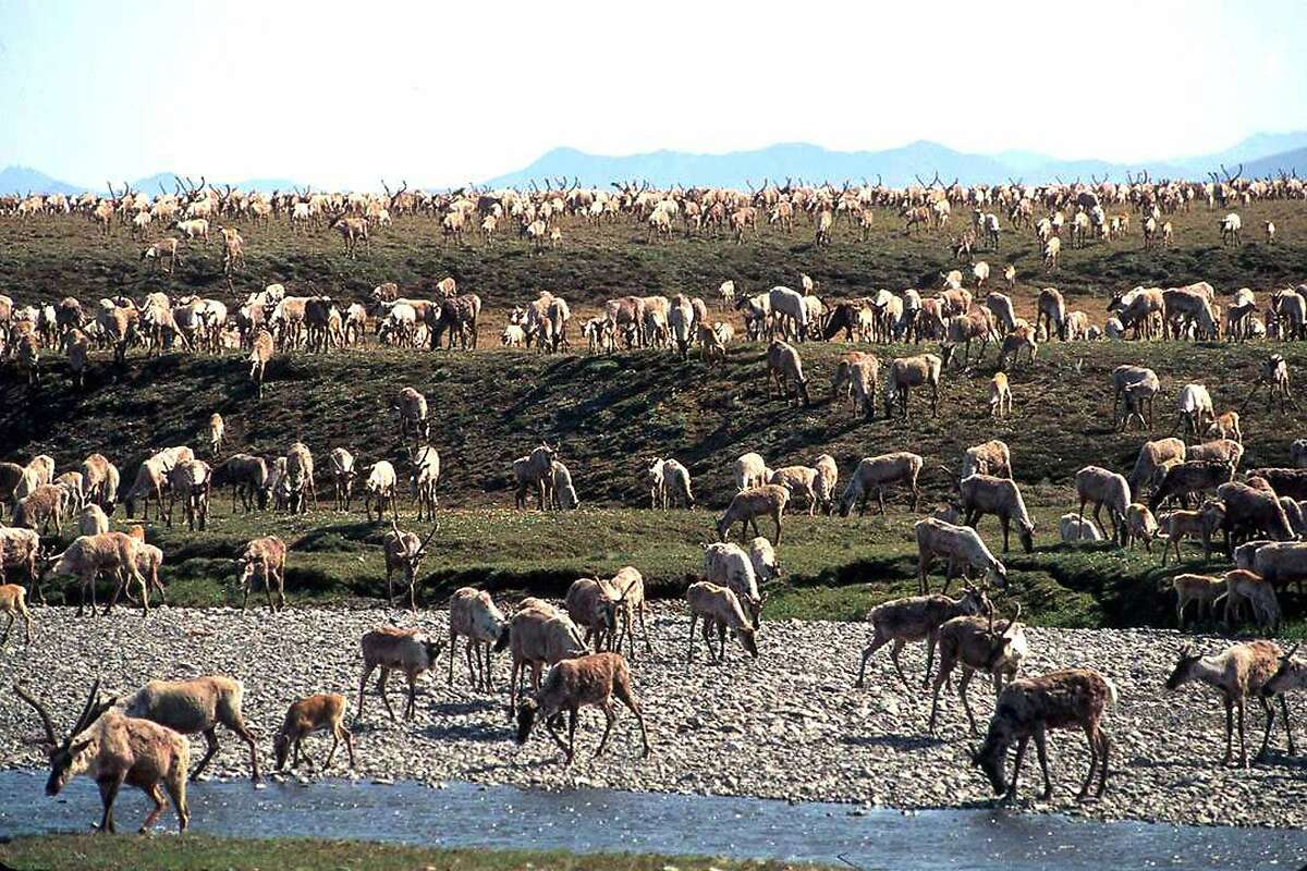 FILE - In this undated file photo provided by the U.S. Fish and Wildlife Service, caribou from the Porcupine Caribou Herd migrate onto the coastal plain of the Arctic National Wildlife Refuge in northeast Alaska. Opponents of oil drilling in America's largest wildlife refuge have a message for oil drillers and the people who finance them: Don't become the company known for the demise of America's polar bears. The Department of the Interior hopes to conduct a lease sale in the Arctic National Wildlife Refuge by the end of the year but environmental groups say they will challenge those plans in federal court and the court of public opinion. Congress did not take a direct vote on opening the refuge. Instead, a provision for lease sales was included in President Donald Trump's Tax Cuts and Jobs Act in Dec. 2017. (U.S. Fish and Wildlife Service via AP, File)