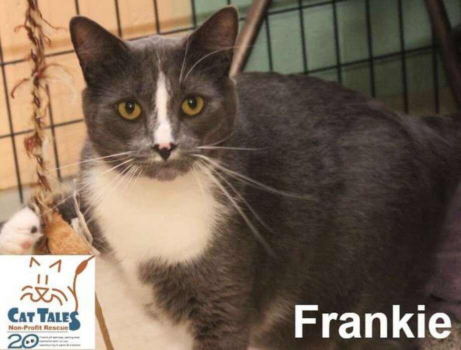"Frankie is a 2-year-old gray and white male. He says, ""I was found as a stray with a bite wound and quarantined for 6 months, while Cat Tales took care of me and I healed. I'm extremely affectionate, playful and friendly boy, so I was very excited when I was released and could play with volunteers. Now I'm ready for a fur-ever home of my own. I love to be petted, love attention, like to follow people around, and curl up on laps. I'd even like to sleep with you at night. Ideally, I should be the only pet in your home, but may be okay with a non-dominate cat and older children who will play gently with me. I've been waiting a very long time for a home. Please adopt me."" Visit http://www.CatTalesCT.org/cats/Frankie, call 860-344-9043 or email: info@CatTalesCT.org. Watch our TV commercial: https://youtu.be/Y1MECIS4mIc Photo: Contributed Photo"