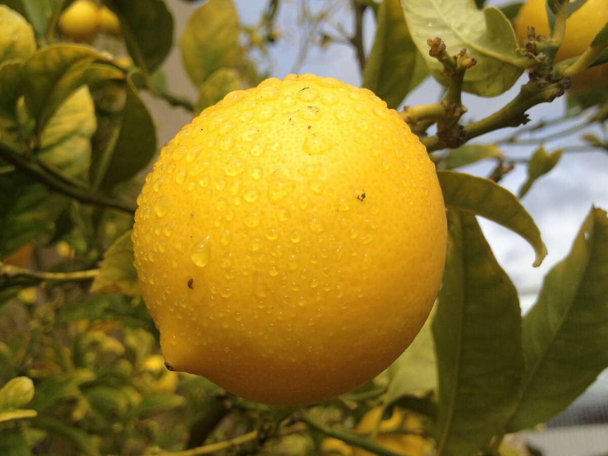 A Meyer lemon grows in The Chronicle rooftop garden.