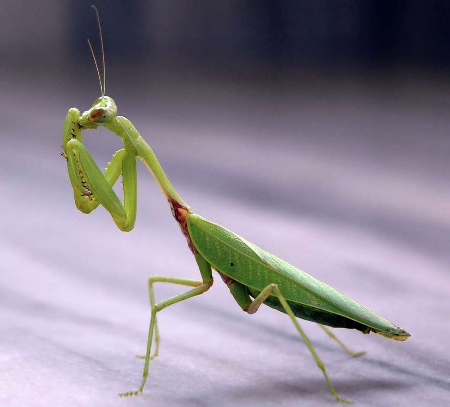 The praying mantis is an amazing creature. Named after their prayer-like spiked fore-limbs folded back, they just as well could be called praying mantis due to their aggressive predatory activity. Praying mantis translates into the Greek word for prophet.