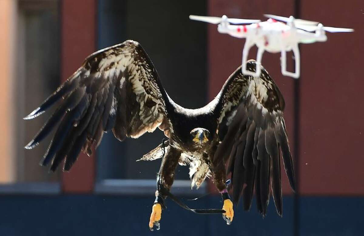 A trained young bold eagle eyes a drone in midair during a demonstration organized by the Dutch police as part of a program to train birds of prey to catch drones flying over sensitive or restricted areas, at the Dutch Police Academy in Ossendrecht, on September 12, 2016. Dutch police are adopting a centuries-old pursuit to resolve the modern-day problem of increasing numbers of drones in the skies, becoming the world's first force to employ eagles as winged warriors.