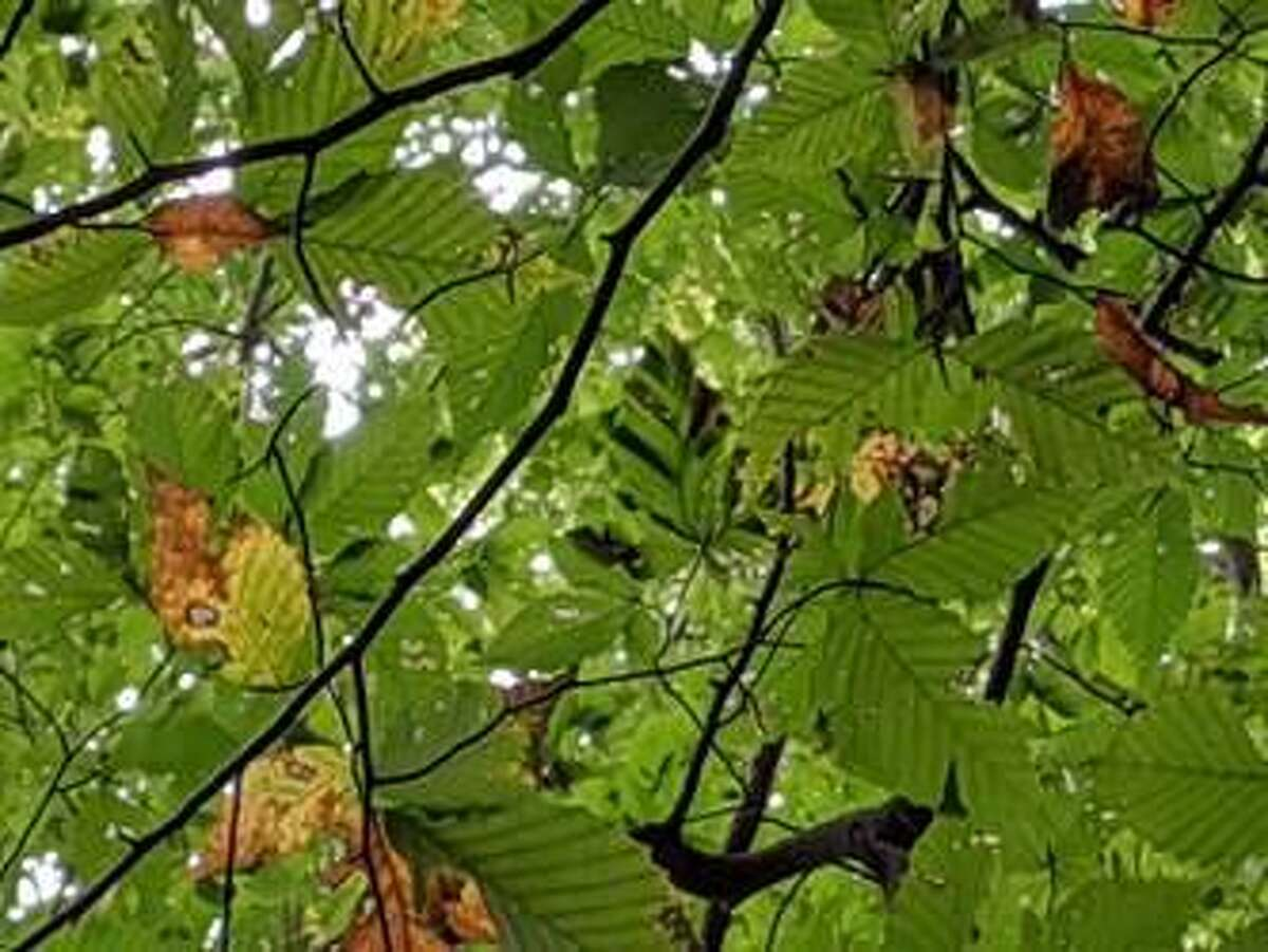 The symptoms of beech leaf disease on foliage, best observed from below looking up into the canopy, are characterized by dark striping between leaf veins.