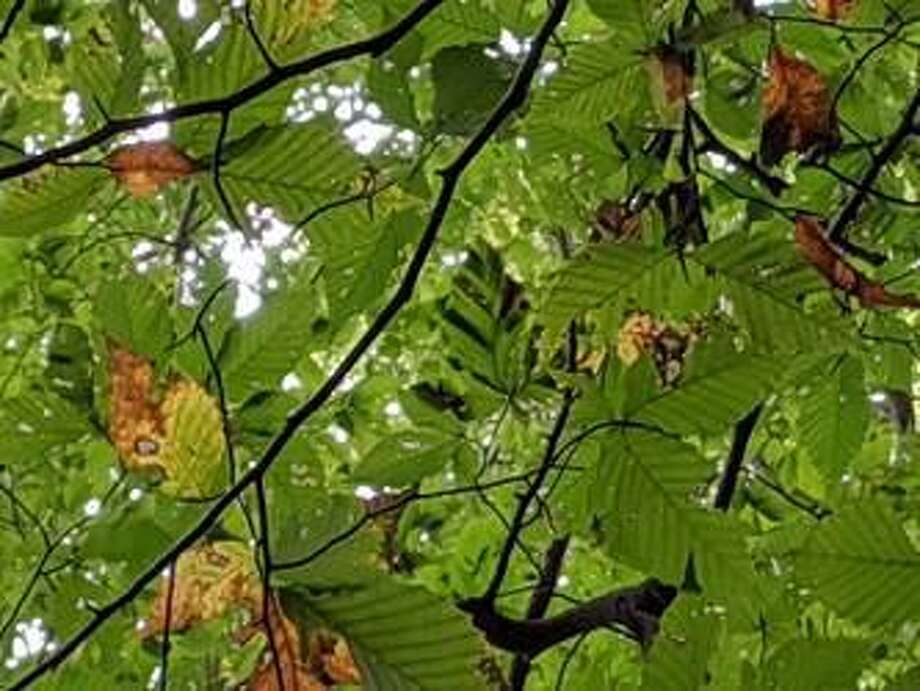 The symptoms of beech leaf disease on foliage, best observed from below looking up into the canopy, are characterized by dark striping between leaf veins. Photo: Contributed Photo