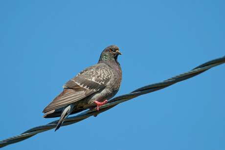 Rock pigeons are colorful and come in a variety of patterns. Photo Credit: Kathy Adams Clark Restricted use.