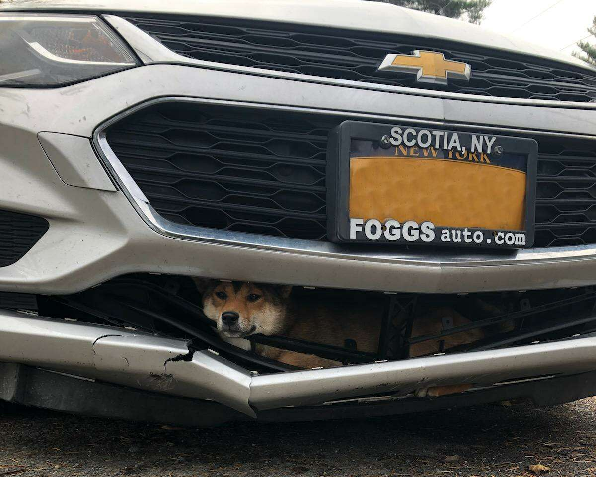 This Shiba Inu was rescued Monday in Rotterdam afterspending more than an hour trapped inside a car's grille.
