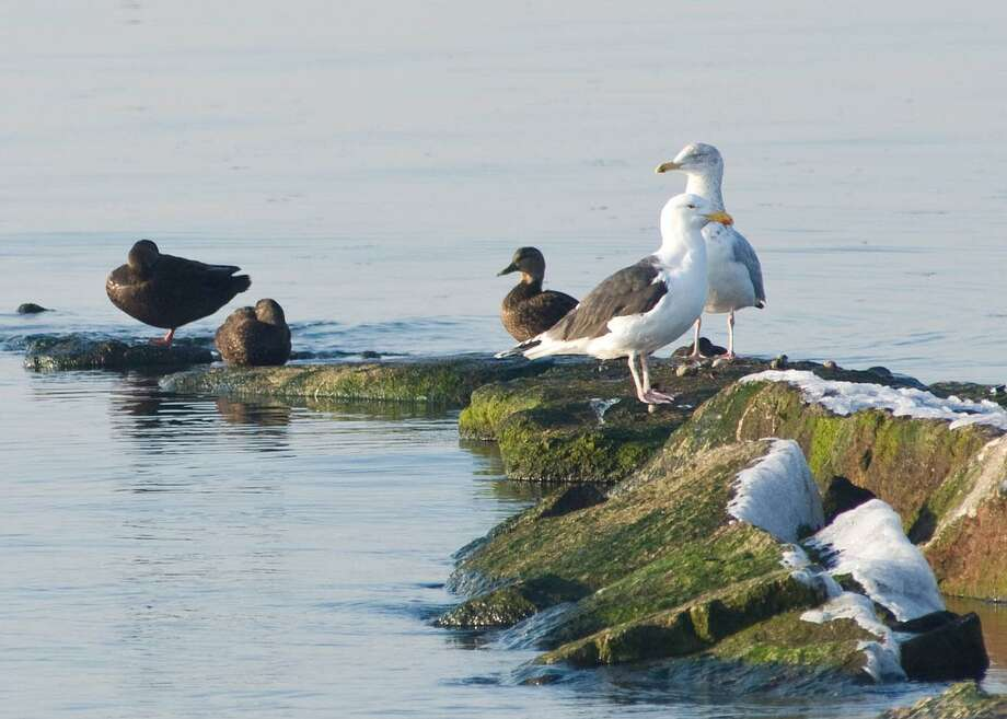 American Black Ducks and gulls. Photo: Twan Leenders Photo.