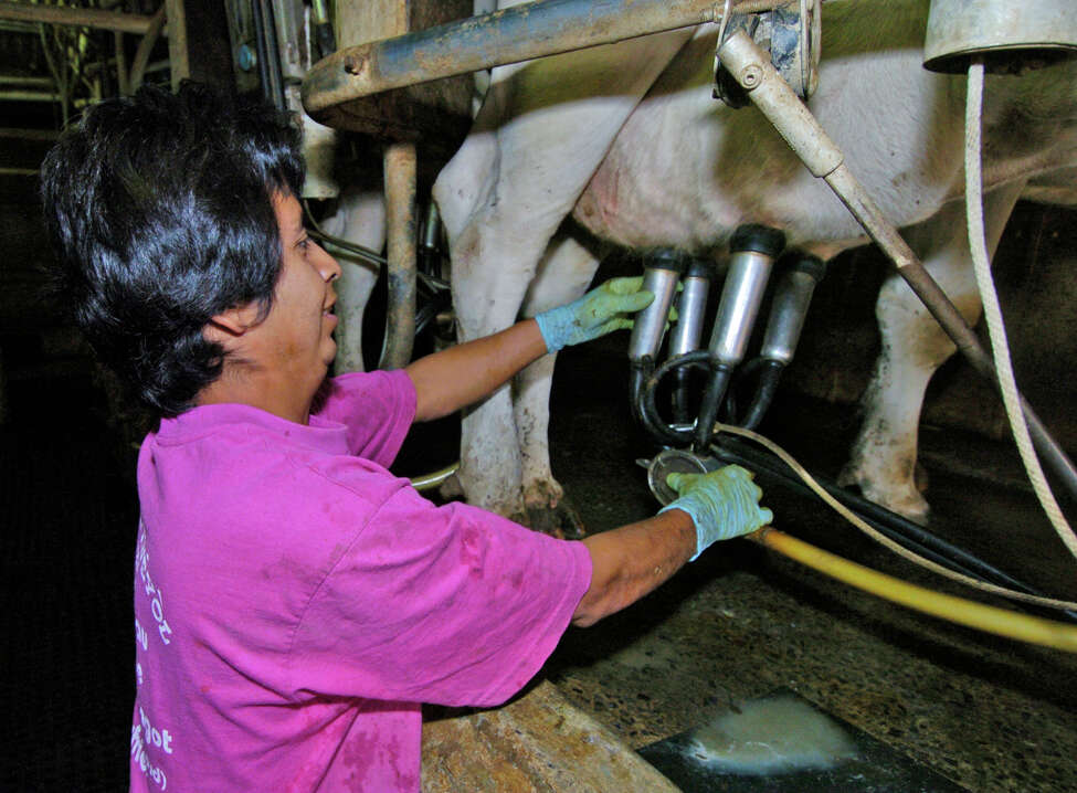 A man sets up a cow for milking at the Hanehan and Son's Dairy Farm in Stillwater, New York September 30, 2005.