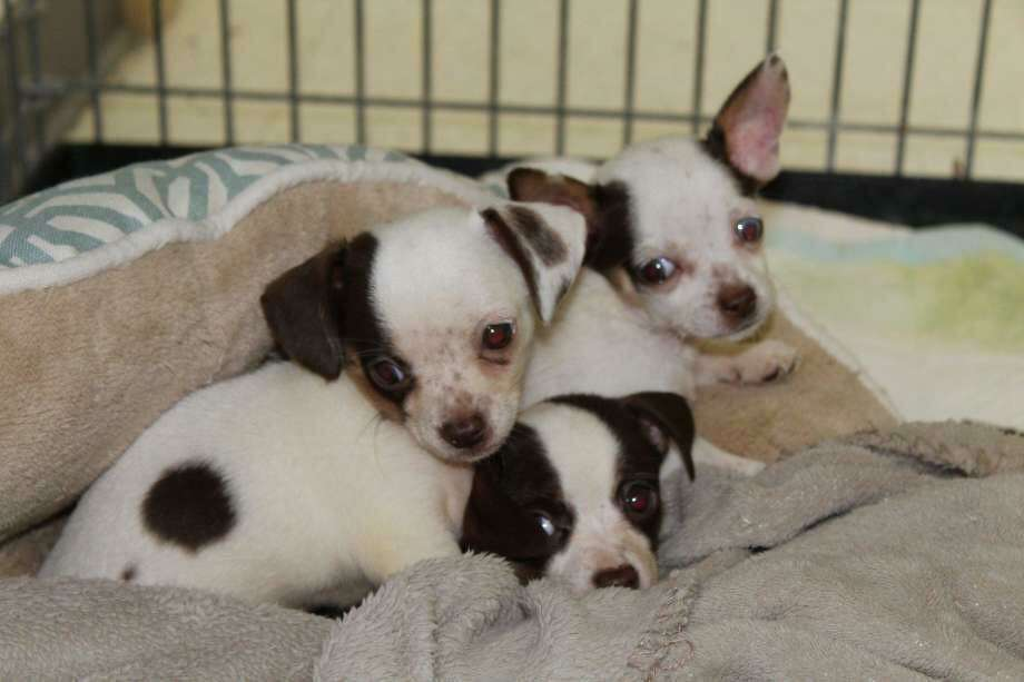 Police are looking for the culprit who abandoned 10 small dogs in private driveways across four towns in early September, according to the Stonington Police Department. The dogs, which were adults and puppies, appear to be Chihuahua mixes, police said.