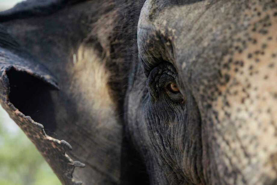 Methai, a 50-year-old Asian elephant at the Houston Zoo. Photo: Elizabeth Conley,  Houston Chronicle / Staff Photographer / © 2018 Houston Chronicle