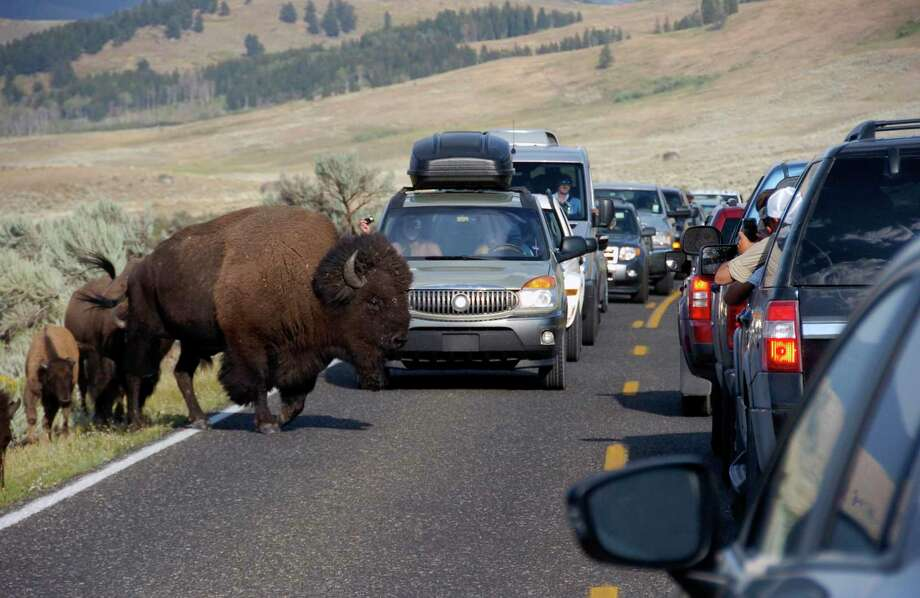 National Bison Day-learn about America's largest mammal at Connecticut's Beardsley Zoo, in Bridgeport on Nov. 2. A large bison blocks traffic as tourists take photos of the animals in the Lamar Valley of Yellowstone National Park in Wyo. (AP Photo/Matthew Brown, File) Photo: Matthew Brown / Associated Press / Copyright 2019 The Associated Press. All rights reserved.