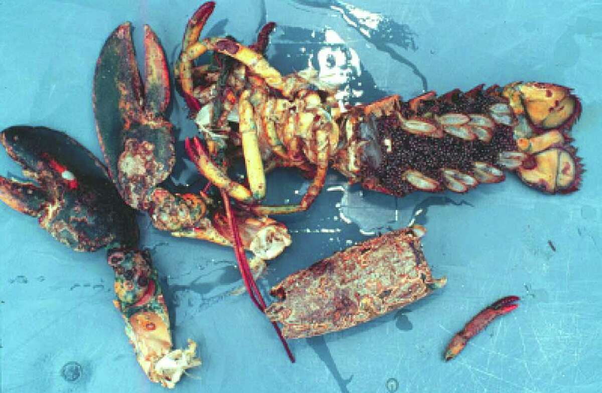 Scientists believe that lobster shell disease, in which the animal's is eaten by bacteria, is caused by chemicals in plastics, paints and detergents that upset the delicate balance of hormones that governs molting and other functions. (Rhode Island Sea Grant)