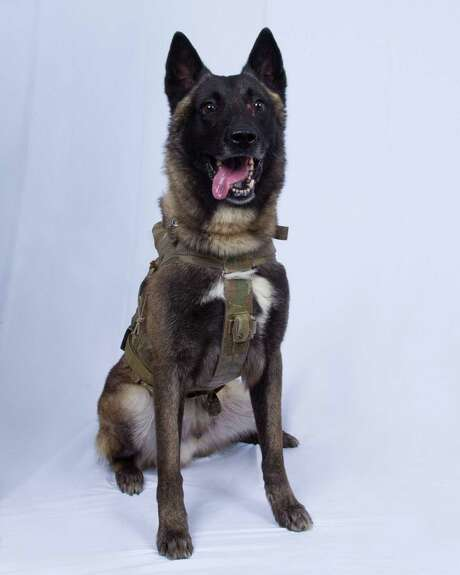 """This undated image released by the US Department of Defense on October 30, 2019, shows the military dog who sustained minor injuries during the Al-Baghdadi raid. The dog has returned to duty, according to the Pentagon. - The """"hero"""" dog wounded in the US commando raid that culminated in the death Islamic State leader Abu Bakr al-Baghdadi is getting a White House homecoming next week, US President Donald Trump said October 31, 2019. Trump revealed that the military dog, a Belgian Malinois, is named """"Conan"""" -- heretofore a closely guarded secret because the information could be used to identify the special forces unit that carried out the raid in Syria October 26."""