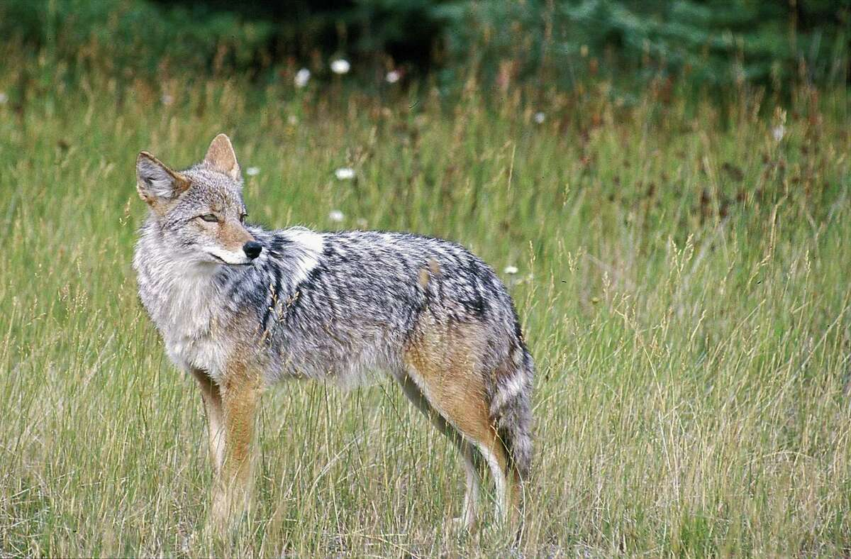FILE - In this Feb. 10, 2013, file photo, A coyote stands in a field in this undated file photo. (AP Photo/Daily Inter Lake, Karen Nichols, File)