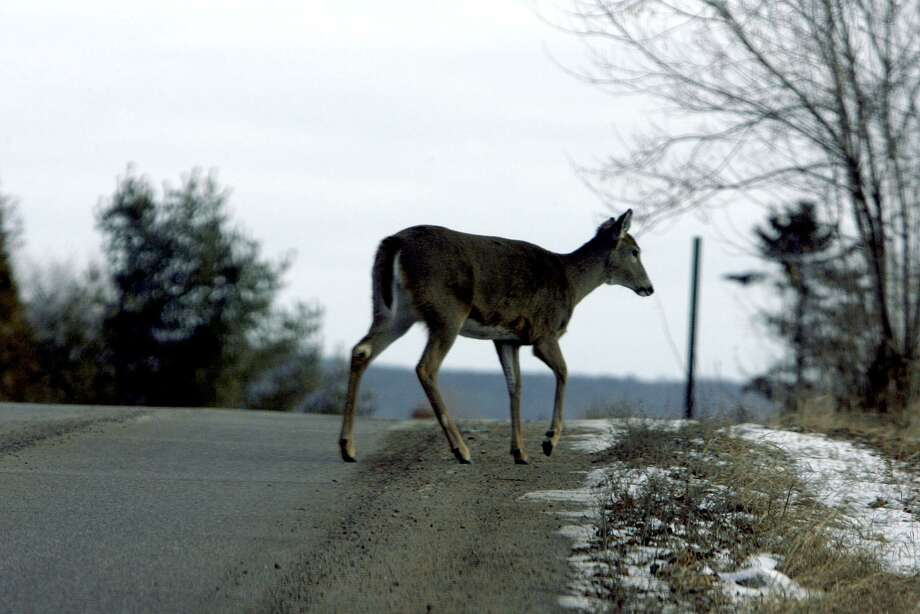 This is prime season for car-deer collisions in Connecticut with 208 occurring last November. Photo: Bonnie Trafelet / TNS / Chicago Tribune