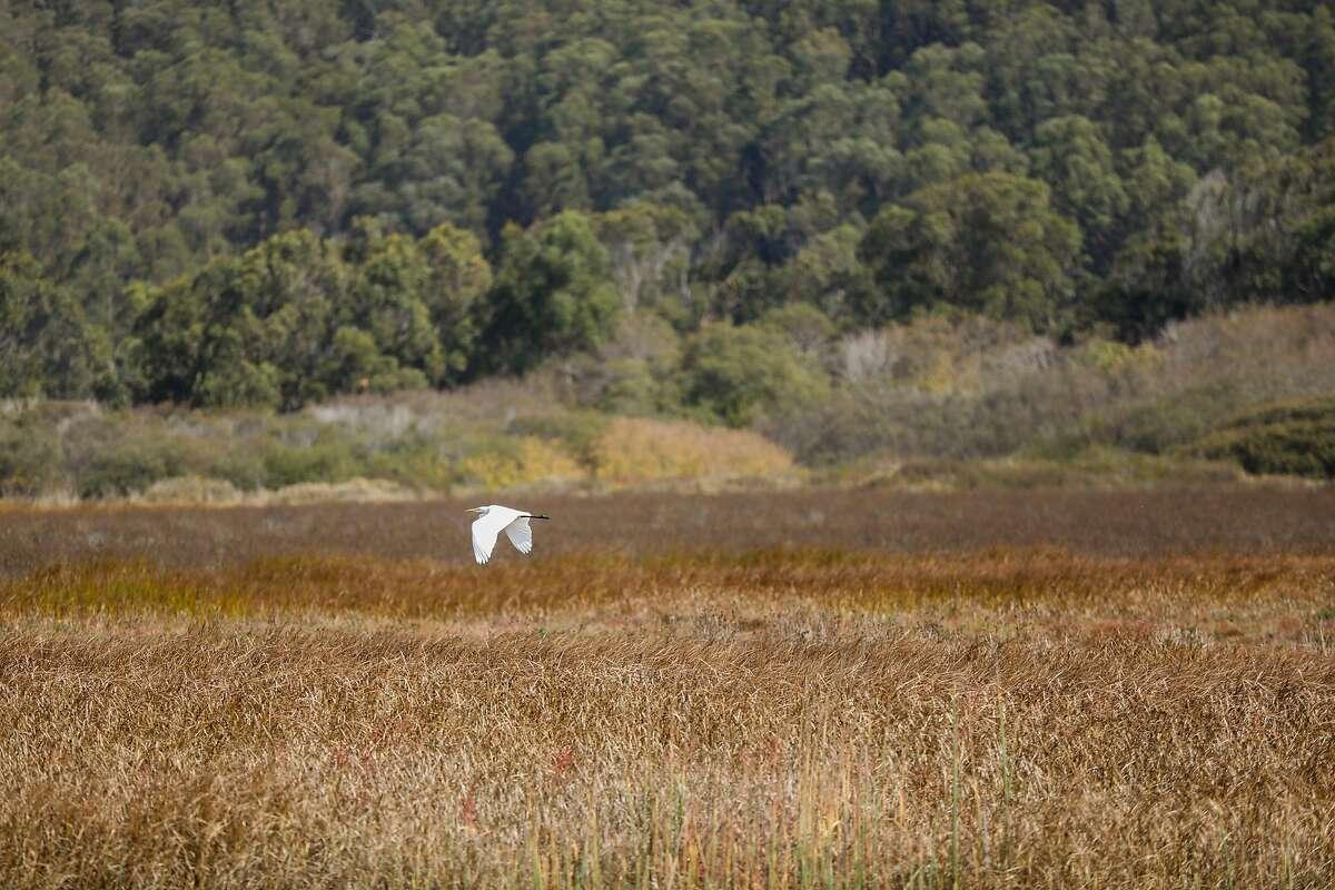 A bird flies through the Pescadero marsh natural preserve in Pescadero, California, on Wednesday, Oct. 16, 2019.