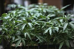FILE - In this Aug. 15, 2019 file photo, marijuana grows at an indoor cannabis farm in Gardena, Calif. Like in other states before it, advocates of legalizing recreational marijuana use in Illinois want the law to look backward as well as forward. It conscientiously attempts to ensure that those who profit from growing and selling the weed have substantial representation from the mostly impoverished neighborhoods nailed the hardest by decades of drug crackdowns. (AP Photo/Richard Vogel, File)