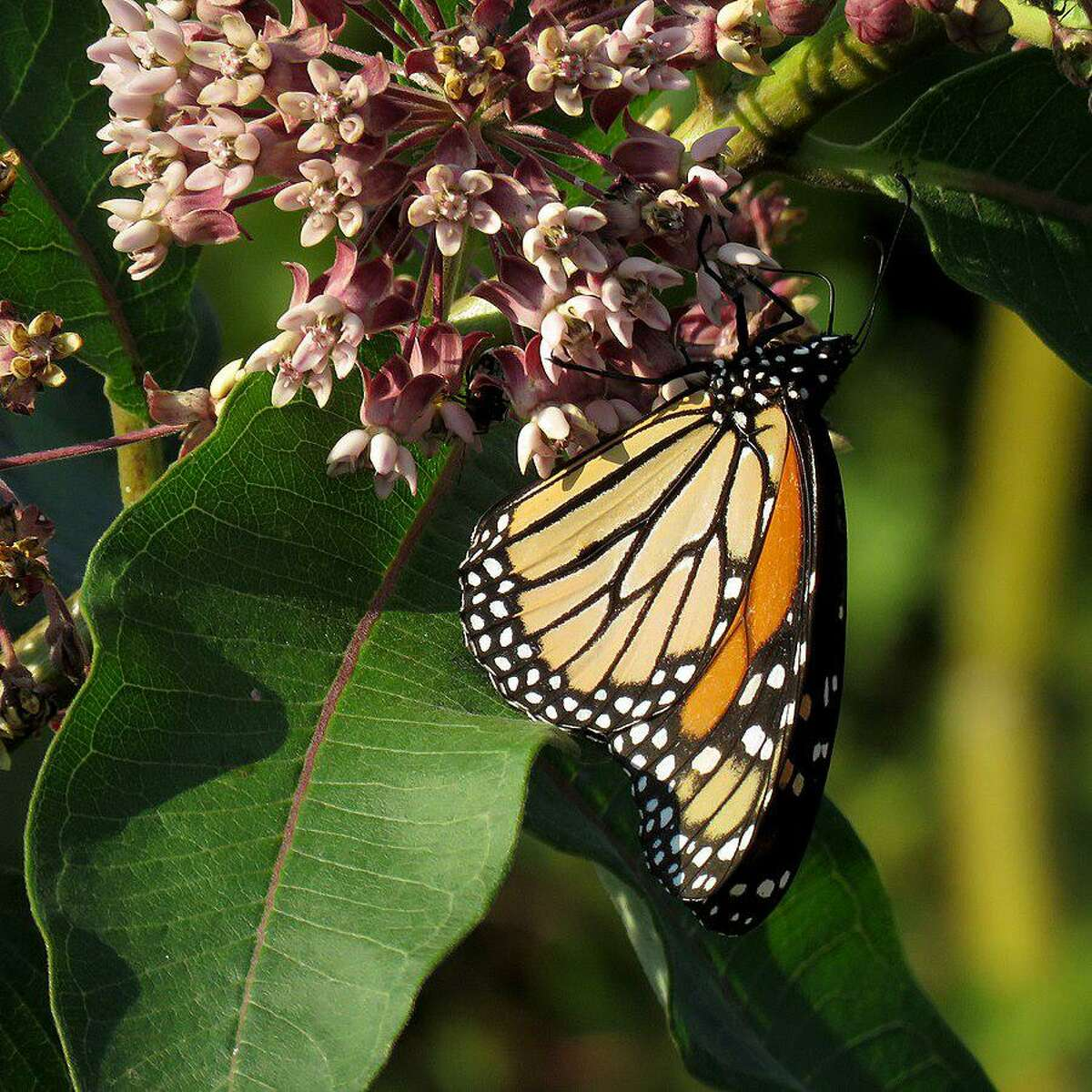 Mary Ellen Lemay, landowner engagement director for the Aspetuck Land Trust will bring information about pollinator pathways Saturday, Nov. 16, at 2 p.m., at the Fowler Building.